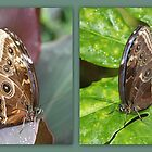 Blue Morpho underwing collage by missmoneypenny
