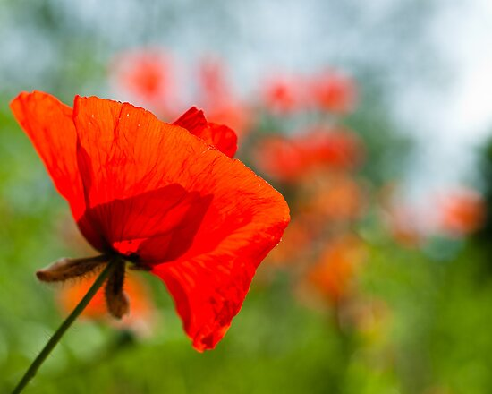 Poppies   by Karen Havenaar