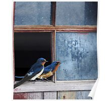 barn swallows in old farm window Poster