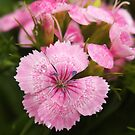 Pink Sweet William by Linda  Makiej