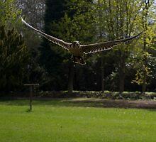 Falcon in flight by cnw180