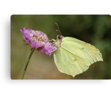 Brimstone Canvas Print