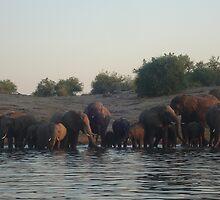 elephants, chobe river, botswana by nervouspilchard
