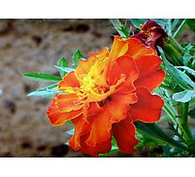 This is a Marigold!!! ©  Photographic Print