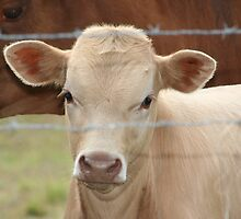 Little White Calf by DebbieCHayes