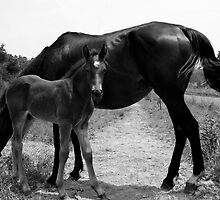 Stud Colt and Momma by melissamcdaniel