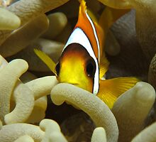 Anemonefish by cooperscuba