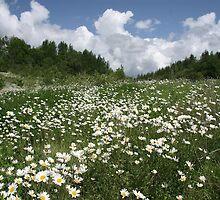 Ox-eye daisy meadow by Jane Corey