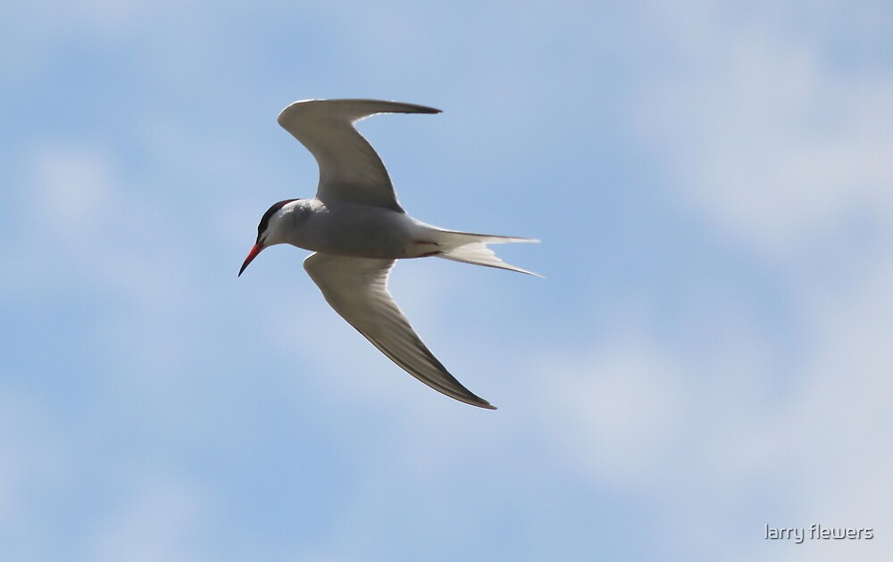 Common Tern (Sterna hirundo) by larry flewers