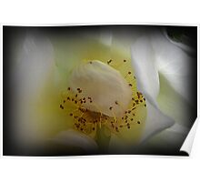 Delicate White Rose Poster