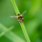 Hover Fly by Justin Atkins