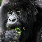 Juvenile Mountain Gorilla Eating, Kwitonda Group, Rwanda, East Africa  by Carole-Anne