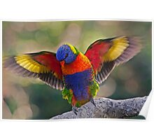 THE MATING DANCE   RAINBOW LORIKEET QLD  AUSTRALIA Poster