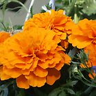 Orange Flowers by quester
