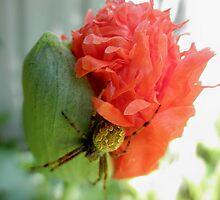 Pretty Spider on Poppy Bud, Tumut, Australia. by kaysharp