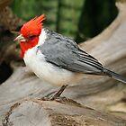 The Cardinal by Kezzarama