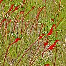 A Field of Kangaroo Paws by Graeme  Hyde