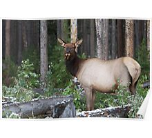 Elk in Yellowstone, NP Poster