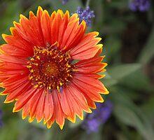 Blanket Flower  by vbk70