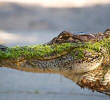 Gator up Close and Personal by Photography by TJ Baccari