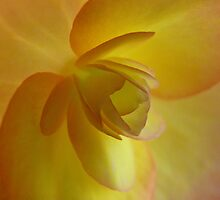 Begonia heaven by Photos - Pauline Wherrell