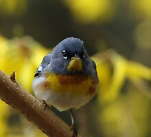 Northern Parula II by Debbie  Roberts