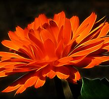 Calendula On Fire by Susie Peek