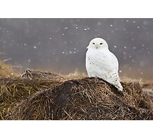 Snowy Owl on hay bale Photographic Print