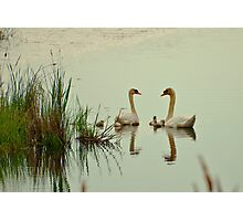 Swan Pair with Cygnets Photographic Print