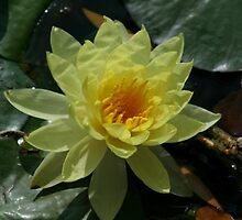 Lotus Flower by Amy Hallowes