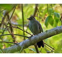 Gray Catbird Photographic Print