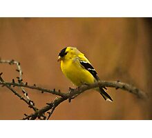 Goldfinch in Changing Plumage Photographic Print