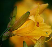 A Lily Amid the Lillies  by Diane Blastorah
