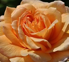 Peach Rose by Dorothy Thomson