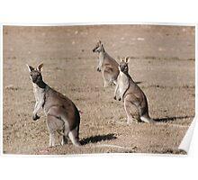 Kangaroos of Cania George Poster