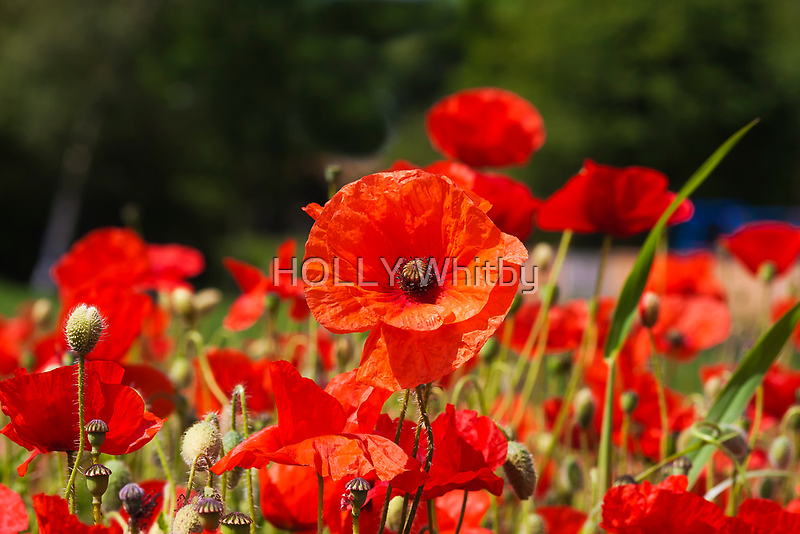 Nature Scape Poppies by Elaine123