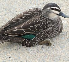 Pacific Black Duck.       Canberra Australia. by shortshooter-Al