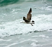 Great Black-back Gull by ifreedman