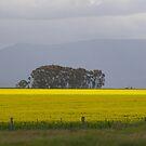 Canola -Grampians Region by ROSEMARY EAGLE