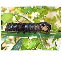 Elephant Moth Caterpillar Poster