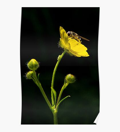 Bugs and Buttercups Poster