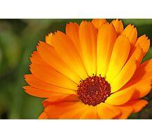 Sunny Marigold Photographic Print