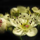 Apple blossom in the dark by Shienna