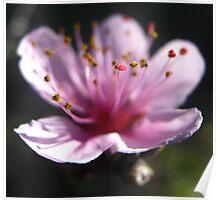 Blossom Flower  Poster