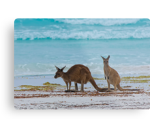 Beach Roos - Lucky Bay - Cape Le Grande - WA Metal Print