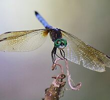 Darlin Dragonfly by Paulette1021