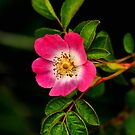 Wild Rose by Simon Pattinson