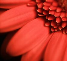 African Daisy by Leon Ritchie