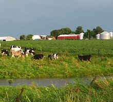 Steers in Pasture in Northeast Iowa by Deb Fedeler