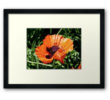 Pretty Poppy... ©  Framed Print